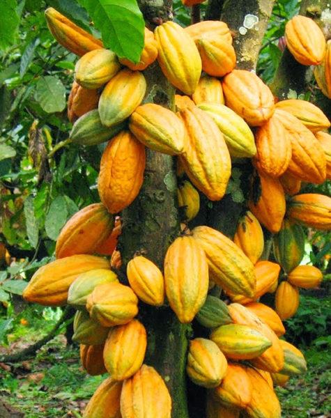 cocoa11
